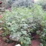 Droga: coltivavano canapa indiana, arrestate 3 persone nel Reggino