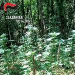 Droga: carabinieri scoprono piantagione di canapa nel Vibonese
