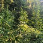 Lamezia, sorpreso a coltivare droga 26enne arrestato dai Carabinieri