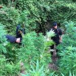 Lamezia: scoperta piantagione di marijuana