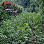 Droga: coltivava marijuana, incesurato arrestato nelVibonese
