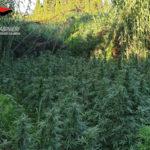 Droga: piantagione di marijuana sequestrata nel Reggino