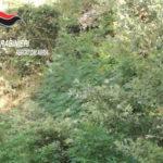 Droga: sequestrata piantagione canapa indiana nel Reggino