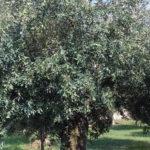Oliveto Calabria: campagna 2019 olive raddoppia la produzione