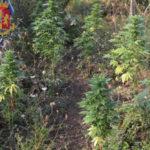 Droga: Polizia scopre una piantagione di cannabis nel Reggino
