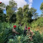 Droga: sequestrata vasta piantagione nel Cosentino, 2 arresti