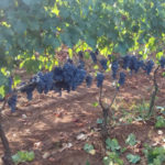 Catanzaro: Coldiretti e Campagna Amica alla festa dell'uva