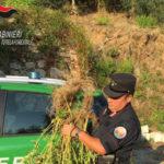 Droga: piante di canapa indiana a Rossano, due denunce
