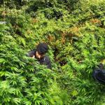 Droga: scoperte altre piante di marijuana a Lamezia Terme