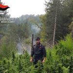 Droga: piantagioni canapa indiana sequestrate nel Reggino