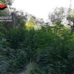 Droga: piantagione di canapa indiana scoperta nel Reggino