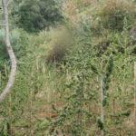 Droga: piantagione irrigata con impianto sequestrata nel Reggino