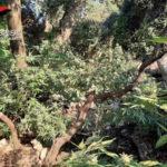Droga: piantagione marijuana sequestrata nella Locride
