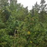 Droga: piantagione scoperta a San Luca, sequestrate oltre 200 piante