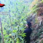 Droga: 800 piante di canapa indiana scoperte a Scilla