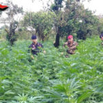 Droga: da maggio 12 piantagioni sequestrate da Carabinieri Bianco