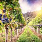 Regione: un milione per sostenere il comparto vitivinicolo