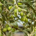 Olivicoltura: domani protesta produttori a Lamezia Terme
