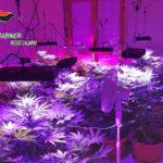 Droga: coltiva piante di marijuana 25enne arrestato a Bianco