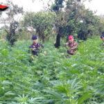 Droga: piantagione marjiuana a Locri, arrestati padre e figlio
