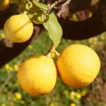 Agricoltura: bergamotto di Calabria a Fruit Logistic Berlino