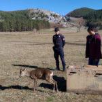 Parco Pollino: curato e rimesso in libertà capriolo investito