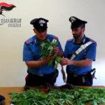 Droga: cannabis nel giardino di casa, una denuncia nel Cosentino