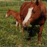 Furto di cavalli nel Vibonese, rubati quattro esemplari