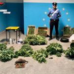 Droga: nel crotonese sequestrate 147 piante marijuana