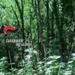 Droga: rinvenuta nel vibonese piantagione di canapa indica