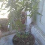 Droga : coltiva marijuana in terrazza, arrestato un 55enne
