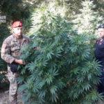 Droga: coltivazioni di sostanze stupefacenti, due arresti in due giorni