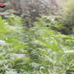 Droga: scovate 2 piantagioni in un solo giorno dai carabinieri -VIDEO