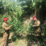 Rinvenuta piantagione di marijuana a Castellace di Oppido Mamertina