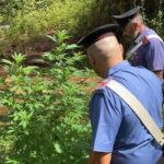 Droga:piantagione tra i rovi, arrestati zio e nipote