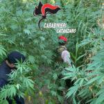 Droga: Tiriolo, trovate altre 2 piantagioni di canapa