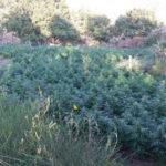 Droga: duemila piante di marijuana sequestrate nel Reggino