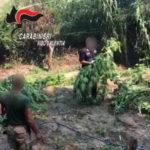 Droga: rinvenute due piantagioni di canapa nel Vibonese