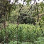 Droga:piantagione marijuana scoperta dai Cc a Saracena