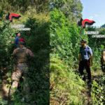 I carabinieri individuano a Tiriolo due piantagioni di canapa