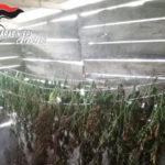 Pastore di Serrastetta scovato con quasi 4 kg di marijuana