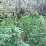 Droga: rinvenute 200 piante di canapa, fucile arrestata una persona