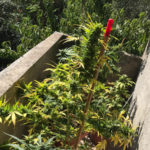 Catanzaro: la Polizia scopre una coltivazione domestica di marijuana