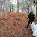 Furto pigne: arrestati3 soggetti e sequestrati circa 670 kg di strobili pino