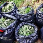 Droga: condannati i quattro taurianovesi sorpresi a coltivare piante di marijuana