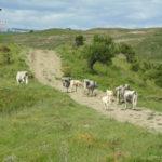 Pascolo abusivo bovini, denunciato allevatore nel Crotonese