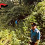 Droga: scoperta piantagione di cannabis nelle campagne di Tiriolo
