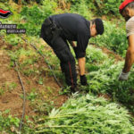 Taurianova: sequestrate 1229 piante di marijuana dai carabinieri