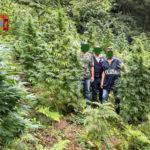 Polizia di stato: Fuscaldo, rinvenuta una piantagione di marijuana